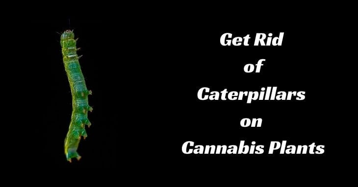 Get Rid of Caterpillars on Cannabis Plants